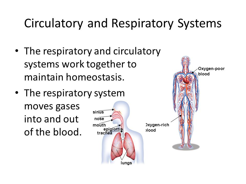 Circulatory and Respiratory Systems The respiratory and circulatory systems work together to maintain homeostasis. The respiratory system moves gases