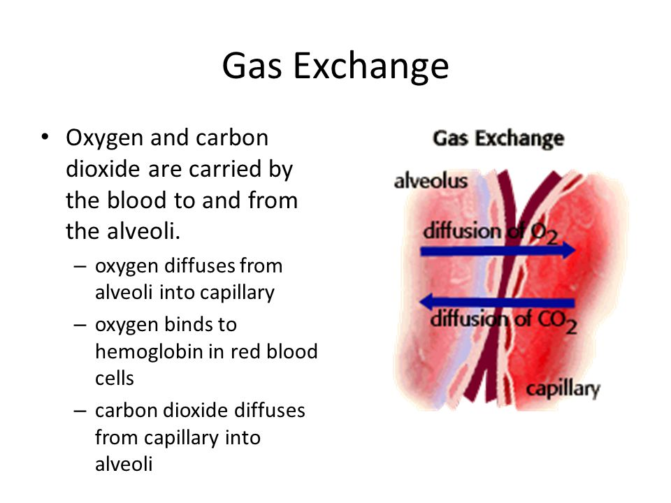 Gas Exchange Oxygen and carbon dioxide are carried by the blood to and from the alveoli. – oxygen diffuses from alveoli into capillary – oxygen binds