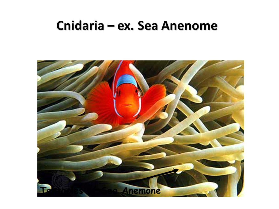 Cnidaria – ex. Sea Anenome Tentacles of Sea Anemone