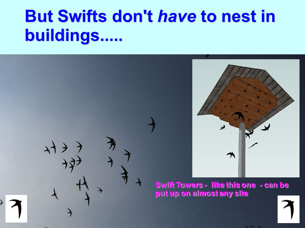 But Swifts don t have to nest in buildings.....