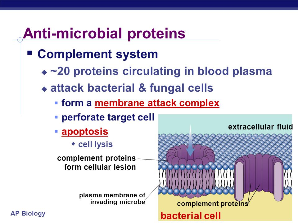 AP Biology  Natural Killer Cells perforate cells  release perforin protein  insert into membrane of target cell  forms pore allowing fluid to flow