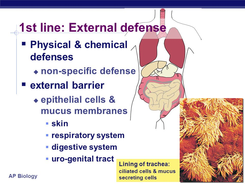 """AP Biology Lines of defense  1st line: Barriers  broad, external defense  """"walls & moats""""  skin & mucus membranes  2nd line: Non-specific patrol"""