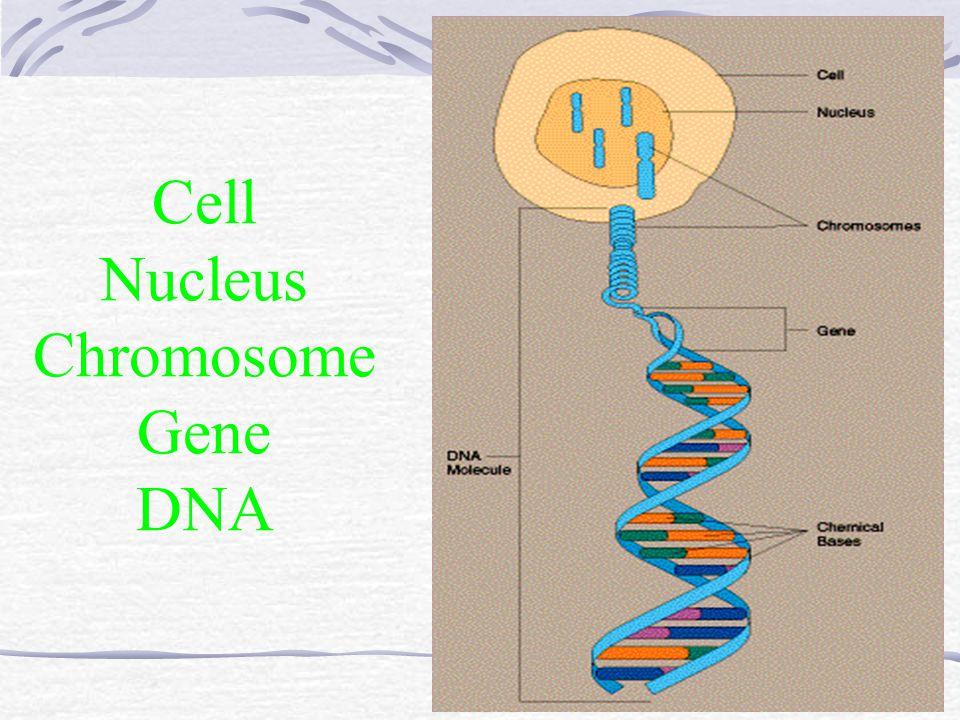 Cell Nucleus Chromosome Gene DNA