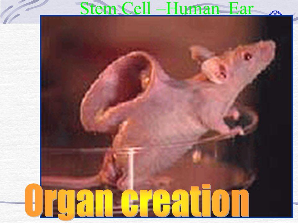 Stem Cell –Human Ear