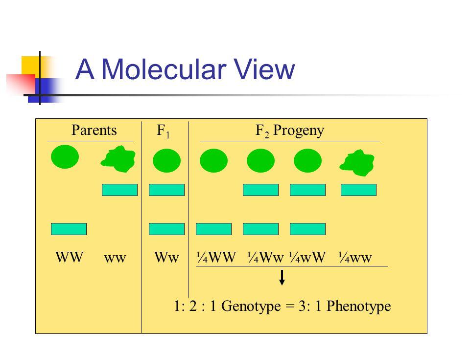 A Molecular View ParentsF1F1 F 2 Progeny WW ww Ww¼WW ¼Ww ¼wW ¼ww 1: 2 : 1 Genotype = 3: 1 Phenotype