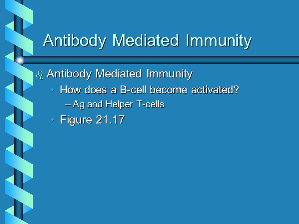 Antibody Mediated Immunity b Antibody Mediated Immunity How does a B-cell become activated?How does a B-cell become activated.