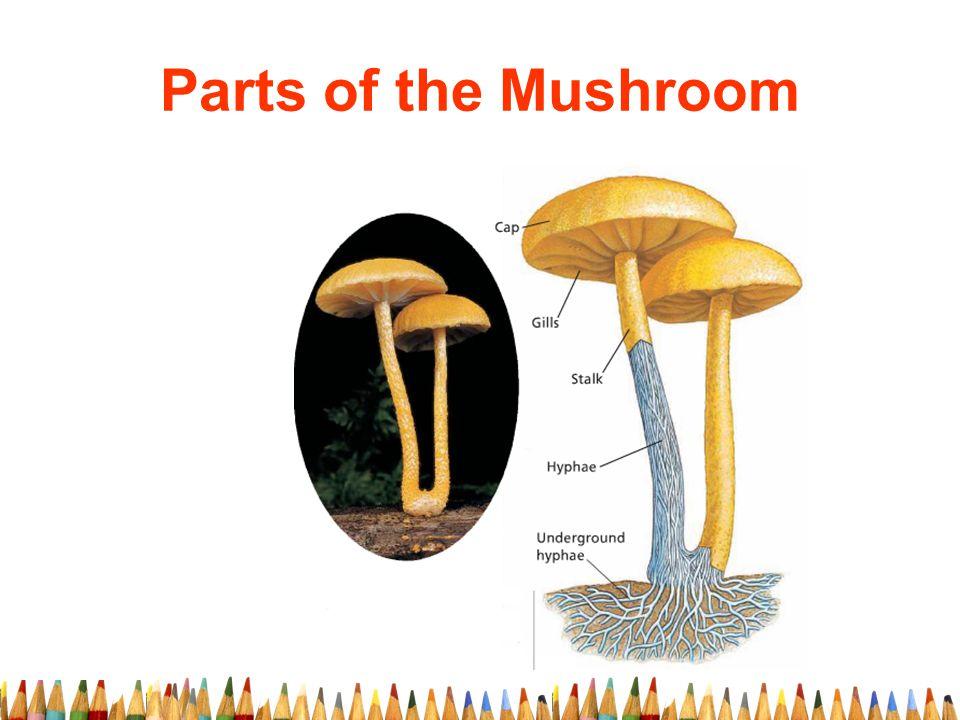 Parts of the Mushroom