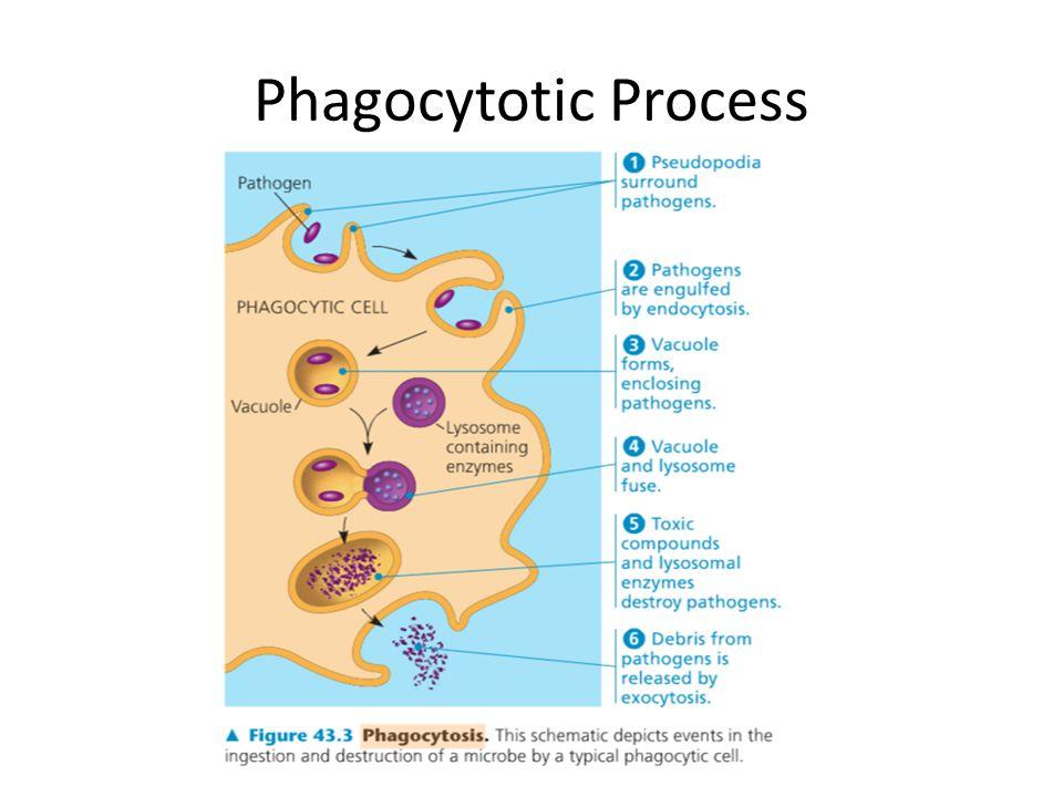 Phagocytotic Process