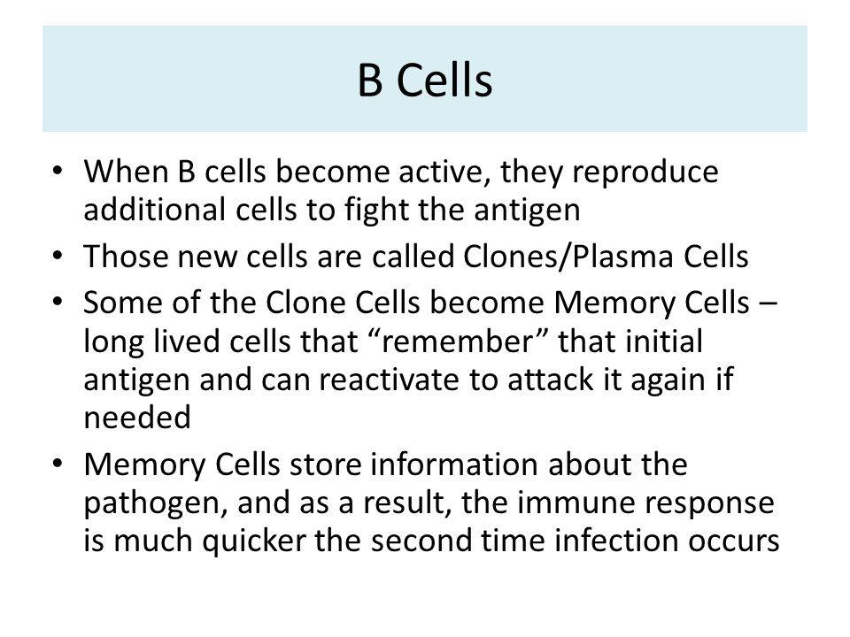 B Cells When B cells become active, they reproduce additional cells to fight the antigen Those new cells are called Clones/Plasma Cells Some of the Clone Cells become Memory Cells – long lived cells that remember that initial antigen and can reactivate to attack it again if needed Memory Cells store information about the pathogen, and as a result, the immune response is much quicker the second time infection occurs