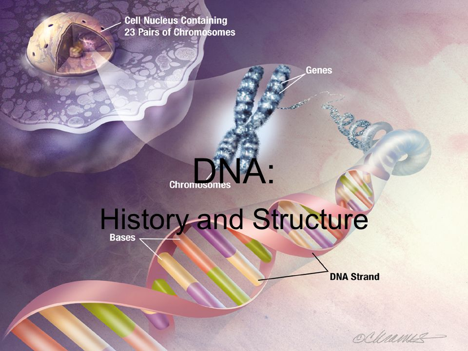 A Brief History of DNA (deoxyribonucleic acid): –Discovery of DNA by many different scientists –1928 – Griffith – studied how bacteria made people sick; found that a gene could change harmless bacteria into disease-causing ones –1944 – scientists led by Avery – DNA is a nucleic acid that stores and transmits the genetic information from one generation of an organism to the next –1952 – Hershey & Chase – studied viruses that killed bacteria; viruses have DNA too