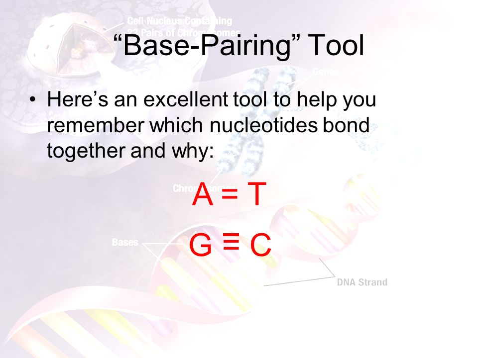 Using the Base-Pairing Rule Because of the structure of DNA, the Base-Pairing Rule, and the tool from the previous slide, if given ONE side of DNA, you can give the other side. Ex: What is the other side, or complimentary strand, to this strand of DNA: –GGGGTTCGAAATTTCGCGAAT CCCCAAGCTTTAAAGCGCTTA