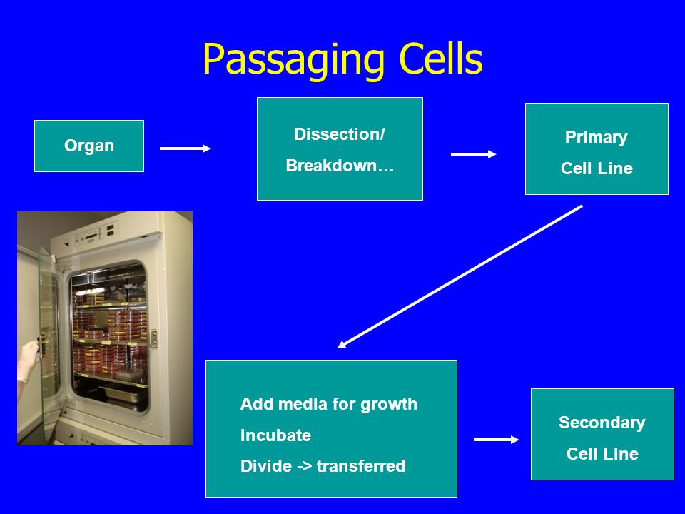 Passaging Cells Organ Dissection/ Breakdown… Add media for growth Incubate Divide -> transferred Primary Cell Line Secondary Cell Line
