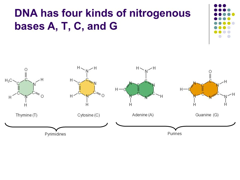 DNA has four kinds of nitrogenous bases A, T, C, and G C C C C C C O N C H H O N H H3CH3C H H H H N N N H O C HH N H C N N N N C C C C H H N N H C C N