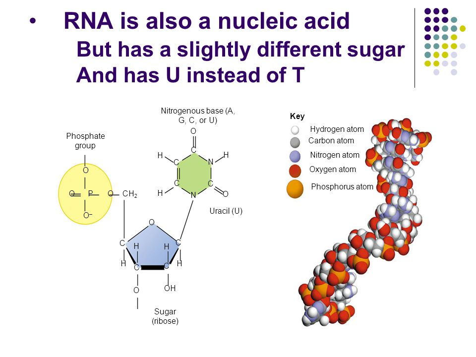 RNA is also a nucleic acid But has a slightly different sugar And has U instead of T Nitrogenous base (A, G, C, or U) Phosphate group O O–O– OOPCH 2 H