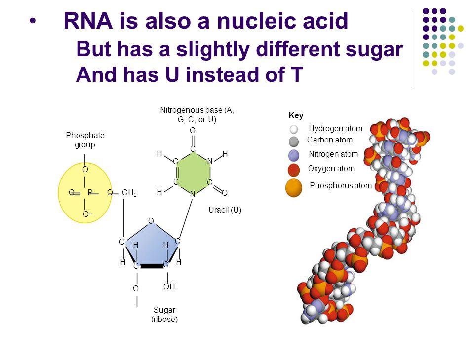 RNA is also a nucleic acid But has a slightly different sugar And has U instead of T Nitrogenous base (A, G, C, or U) Phosphate group O O–O– OOPCH 2 H C C C C N C N H H O O C O O H C H H OH C H Uracil (U) Sugar (ribose) Key Hydrogen atom Carbon atom Nitrogen atom Oxygen atom Phosphorus atom