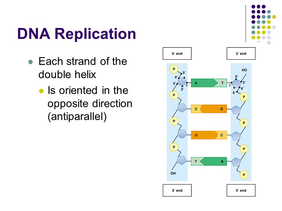 DNA Replication Each strand of the double helix Is oriented in the opposite direction (antiparallel)
