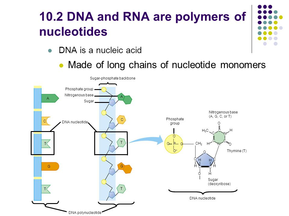 10.2 DNA and RNA are polymers of nucleotides DNA is a nucleic acid Made of long chains of nucleotide monomers DNA polynucleotide A C T G T Sugar-phosphate backbone Phosphate group Nitrogenous base Sugar A C T G T Phosphate group O O–O– O O P CH 2 H3CH3C C C C C N C N H H O O C O O H C H H H C H Nitrogenous base (A, G, C, or T) Thymine (T) Sugar (deoxyribose) DNA nucleotide