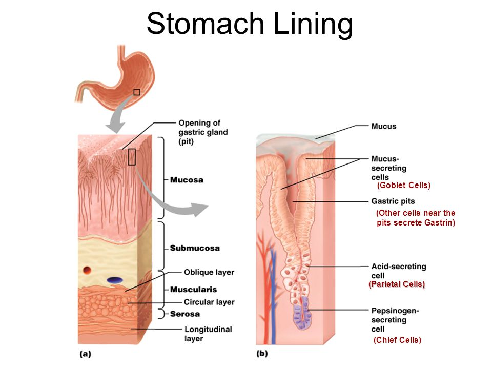Stomach Lining (Parietal Cells) (Chief Cells) (Goblet Cells) (Other cells near the pits secrete Gastrin)