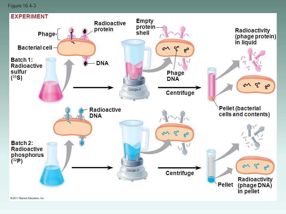 Figure 16.4-3 Bacterial cell Phage Batch 1: Radioactive sulfur ( 35 S) Radioactive protein DNA Batch 2: Radioactive phosphorus ( 32 P) Radioactive DNA