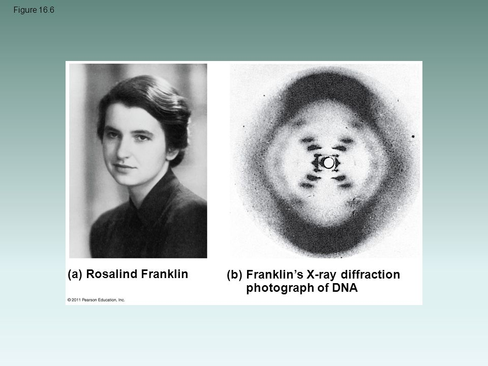 Figure 16.6 (a) Rosalind Franklin (b)Franklin's X-ray diffraction photograph of DNA
