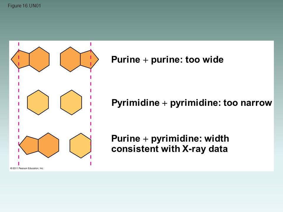 Figure 16.UN01 Purine  purine: too wide Pyrimidine  pyrimidine: too narrow Purine  pyrimidine: width consistent with X-ray data