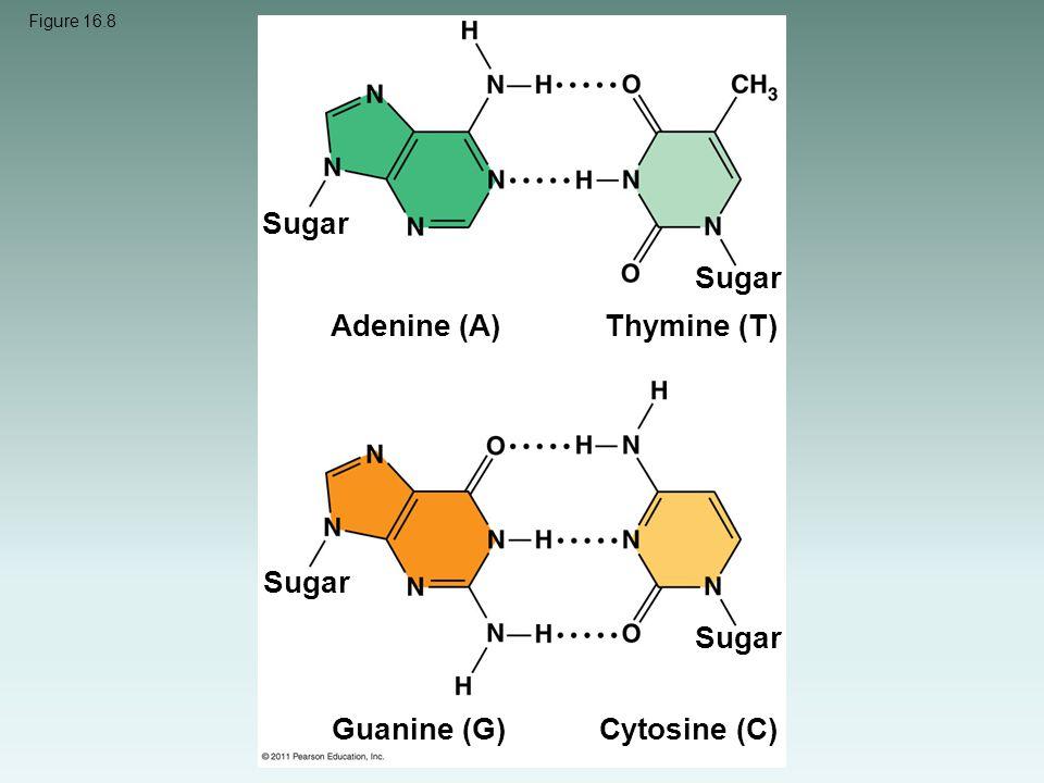 Figure 16.8 Sugar Adenine (A) Thymine (T) Guanine (G)Cytosine (C)