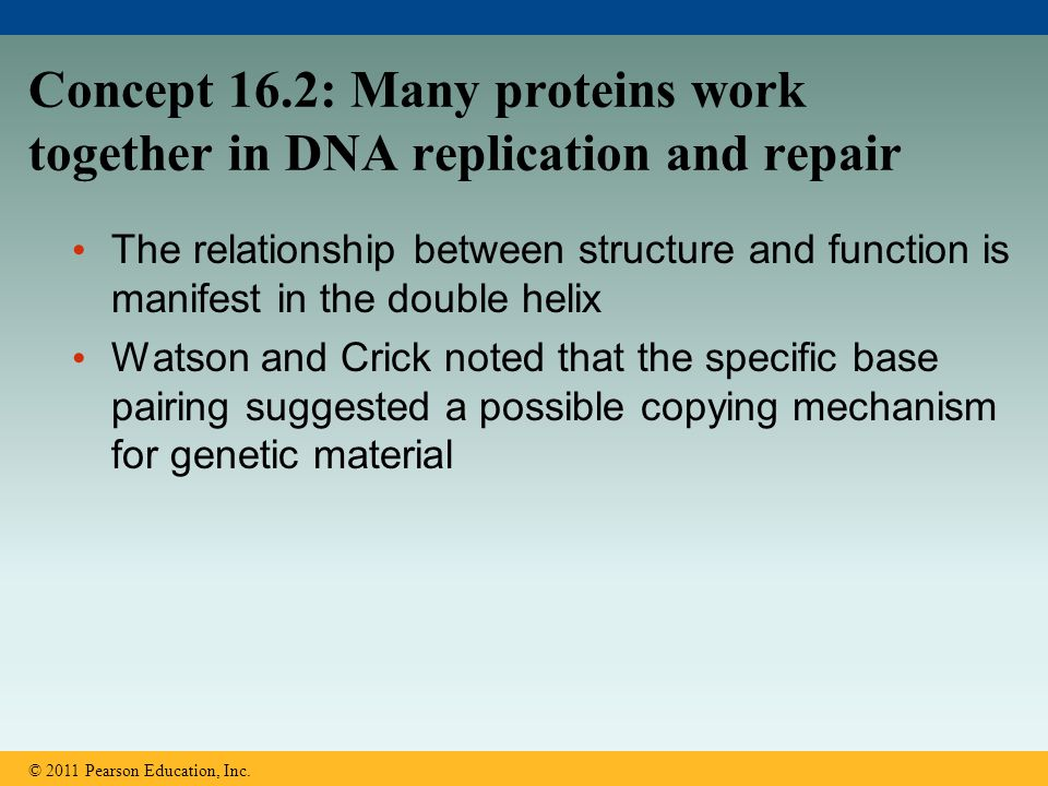 Concept 16.2: Many proteins work together in DNA replication and repair The relationship between structure and function is manifest in the double heli