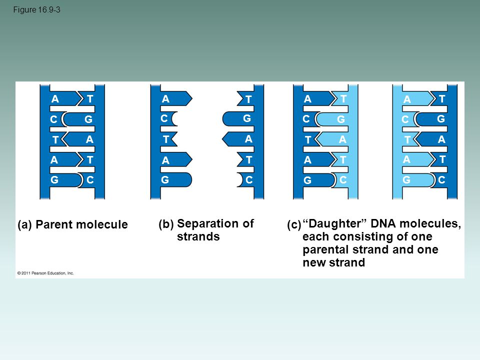 """Figure 16.9-3 (a) Parent molecule (b) Separation of strands (c) """"Daughter"""" DNA molecules, each consisting of one parental strand and one new strand A"""