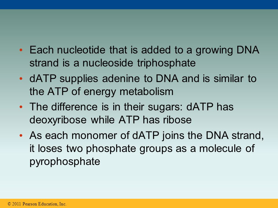 Each nucleotide that is added to a growing DNA strand is a nucleoside triphosphate dATP supplies adenine to DNA and is similar to the ATP of energy me
