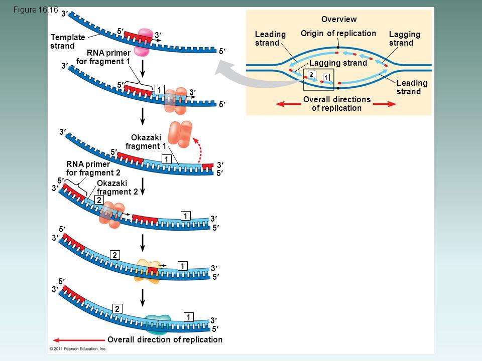 Origin of replication Overview Leading strand Lagging strand Overall directions of replication Template strand RNA primer for fragment 1 Okazaki fragm