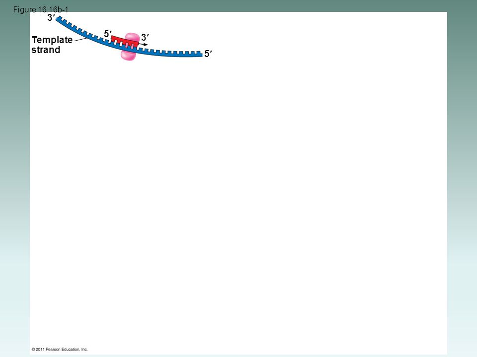 Figure 16.16b-1 Template strand 3 3 5 5