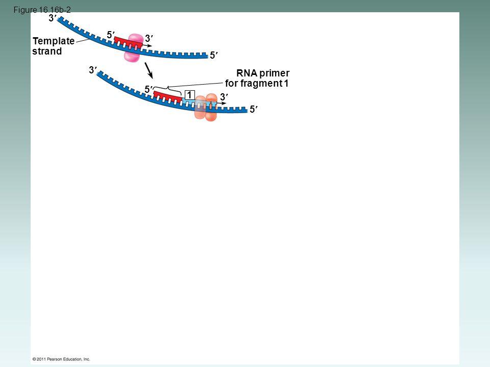 Figure 16.16b-2 Template strand RNA primer for fragment 1 3 3 3 3 5 5 5 5 1