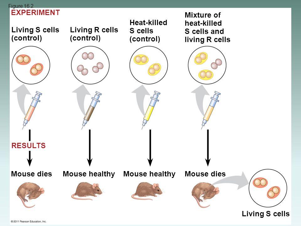 Living S cells (control) Living R cells (control) Heat-killed S cells (control) Mixture of heat-killed S cells and living R cells Mouse dies Mouse hea