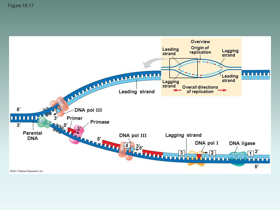 Figure 16.17 Overview Leading strand Origin of replication Lagging strand Leading strand Lagging strand Overall directions of replication Leading stra