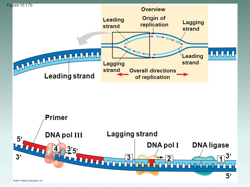 Overview Leading strand Origin of replication Lagging strand Leading strand Lagging strand Overall directions of replication Leading strand Primer DNA