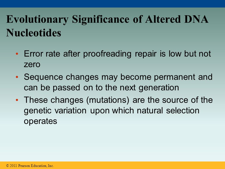Evolutionary Significance of Altered DNA Nucleotides Error rate after proofreading repair is low but not zero Sequence changes may become permanent an