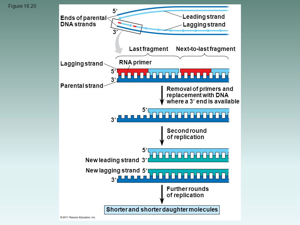 Figure 16.20 Ends of parental DNA strands Leading strand Lagging strand Last fragment Next-to-last fragment Lagging strand RNA primer Parental strand