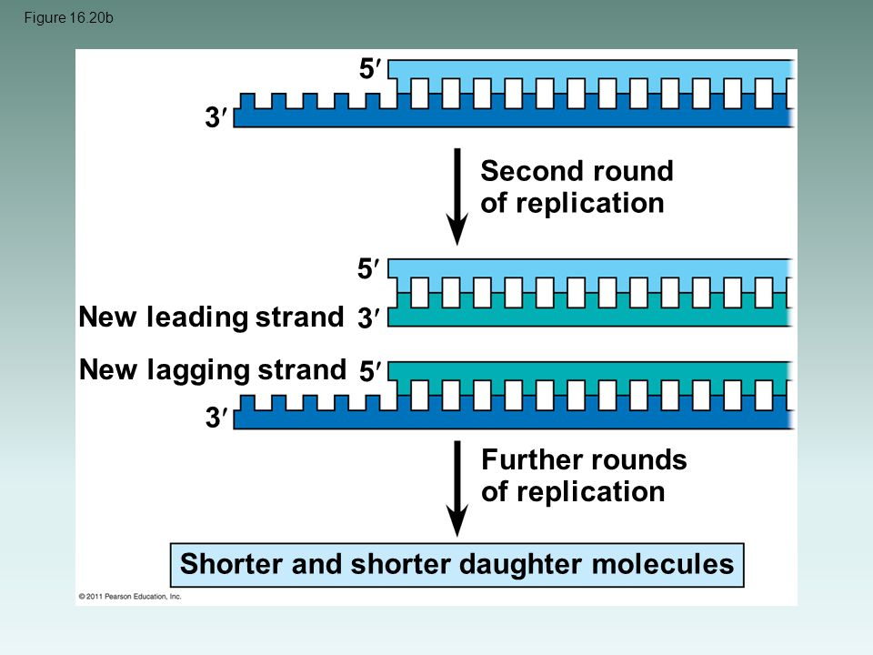 Figure 16.20b Second round of replication Further rounds of replication New leading strand New lagging strand Shorter and shorter daughter molecules 3