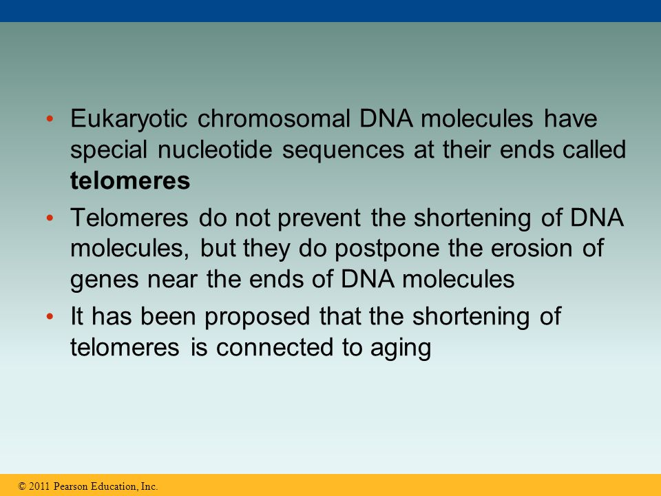 Eukaryotic chromosomal DNA molecules have special nucleotide sequences at their ends called telomeres Telomeres do not prevent the shortening of DNA m