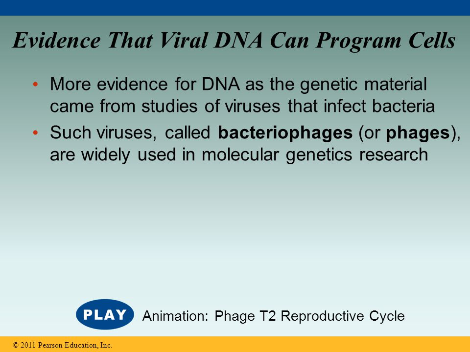 Evidence That Viral DNA Can Program Cells More evidence for DNA as the genetic material came from studies of viruses that infect bacteria Such viruses
