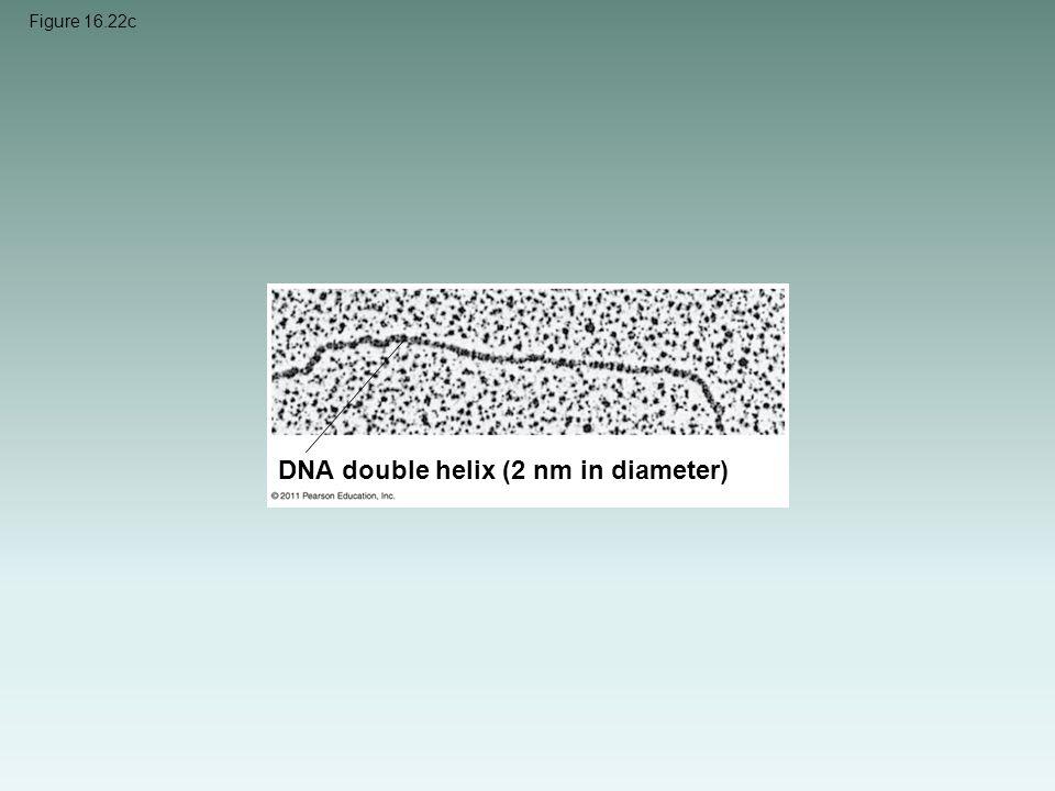 Figure 16.22c DNA double helix (2 nm in diameter)