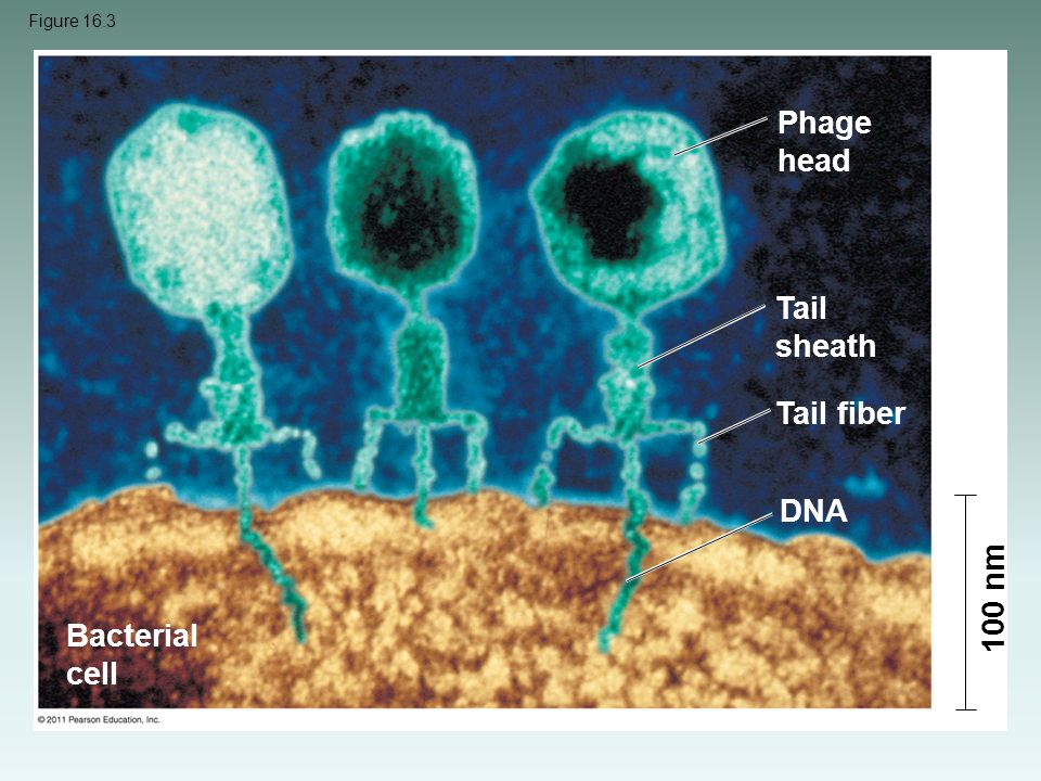 Figure 16.3 Phage head Tail sheath Tail fiber DNA Bacterial cell 100 nm
