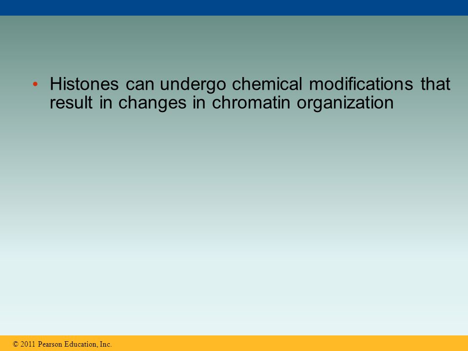 Histones can undergo chemical modifications that result in changes in chromatin organization © 2011 Pearson Education, Inc.