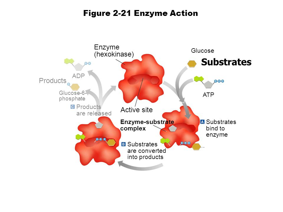 Glucose Substrates ATP Substrates bind to enzyme Substrates are converted into products Enzyme-substrate complex Enzyme (hexokinase) ADP Products Glucose-6- phosphate Products are released Figure 2-21 Enzyme Action Active site