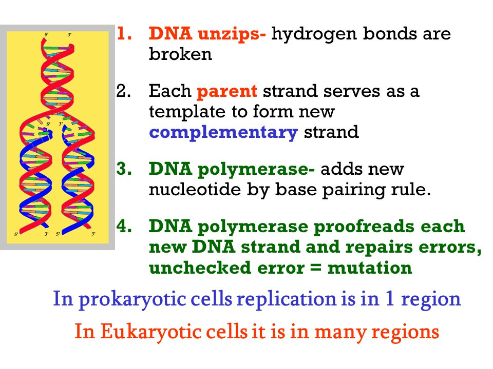 1.DNA unzips- hydrogen bonds are broken 2.Each parent strand serves as a template to form new complementary strand 3.DNA polymerase- adds new nucleoti