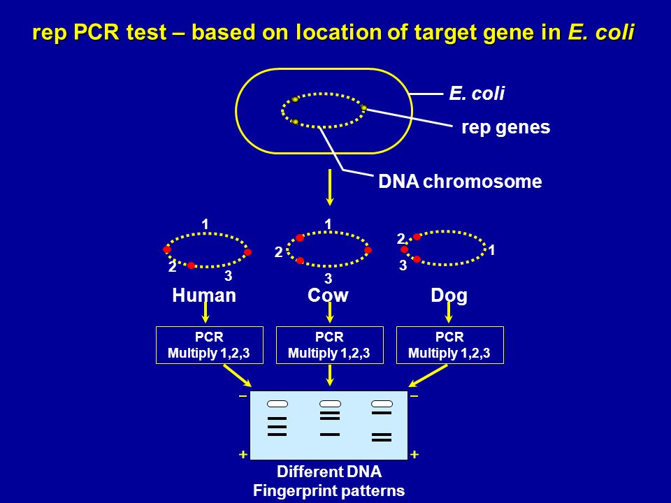 rep PCR test – based on location of target gene in E. coli E. coli rep genes DNA chromosome 1 2 3 1 2 3 1 2 3 HumanCowDog PCR Multiply 1,2,3 Different
