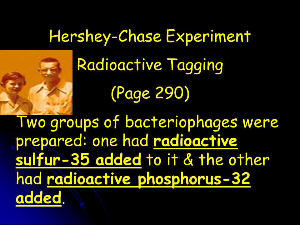 Hershey-Chase Experiment Radioactive Tagging (Page 290) Two groups of bacteriophages were prepared: one had radioactive sulfur-35 added to it & the ot