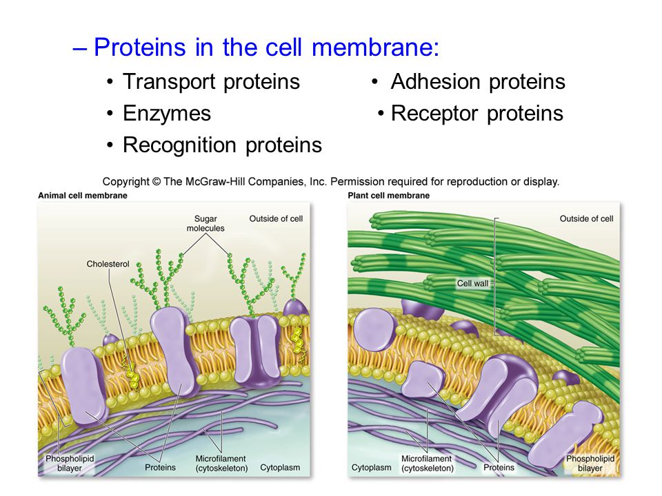 –Proteins in the cell membrane: Transport proteins Adhesion proteins Enzymes Receptor proteins Recognition proteins