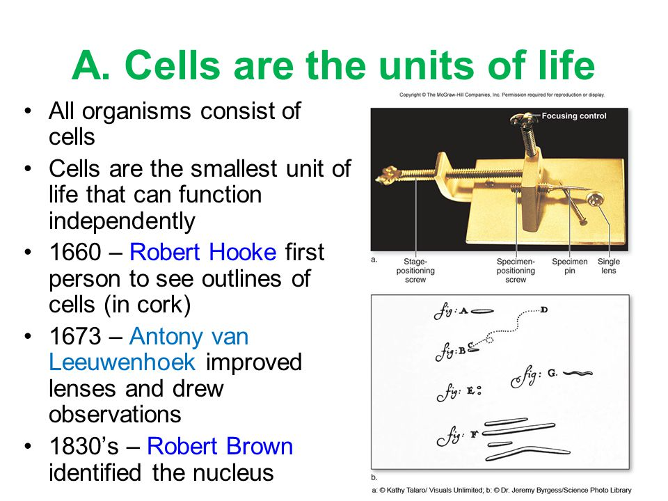 A. Cells are the units of life All organisms consist of cells Cells are the smallest unit of life that can function independently 1660 – Robert Hooke