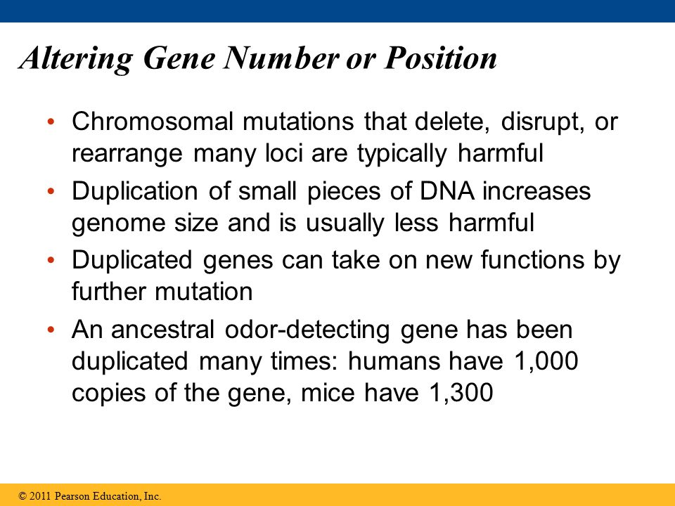 Altering Gene Number or Position Chromosomal mutations that delete, disrupt, or rearrange many loci are typically harmful Duplication of small pieces